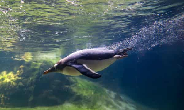 Manchot papou nageant dans un zoo aquarium