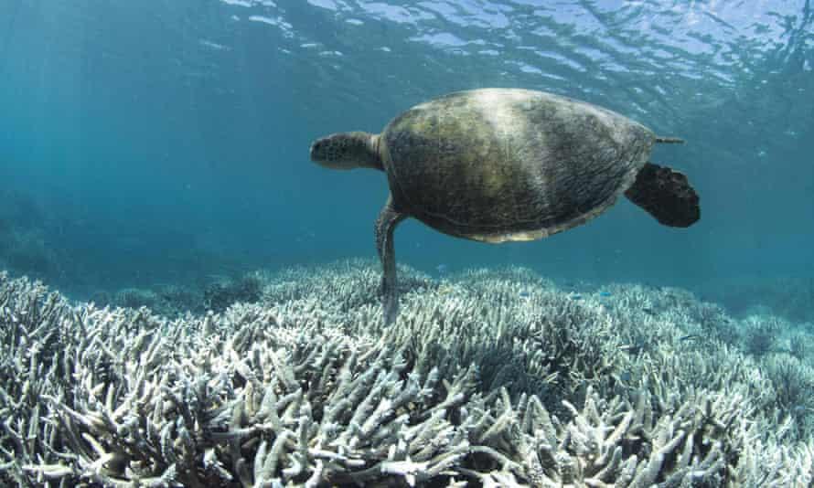 Tortues nageant au large de Heron Island sur la Grande Barrière de Corail, Australie