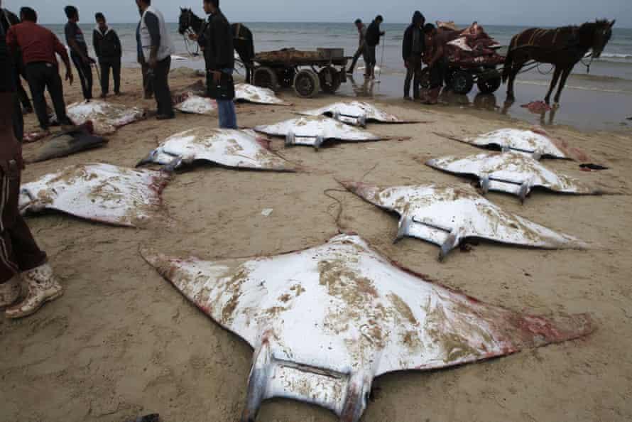 Des pêcheurs ramassent des raies manta lavées sur la plage de la ville de Gaza.